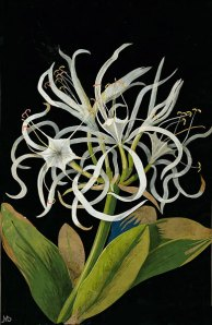 Mary Delany, Pancratium maritinum, 1778, collage of colored papers, with bodycolor and watercolor on black ink background, British Museum, Department of Prints and Drawings, © Trustees of the British Museum