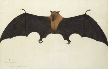 Lot 292 A painting from the Impey Album, by the artist Bhawani Das: a Great Indian Fruit Bat, or Flying Fox (Pteropus giganteus) Calcutta, circa 1778-82