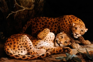 George Stubbs, Two Leopards, ca. 1776, oil on oak panel, 90.5 × 137.4 cm (Private Collection)